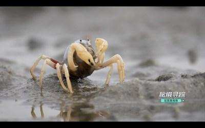 Un cangrejo soldado en un pantano en la Bahía de Danzhou, isla de Hainan, China. (captura de pantalla de video) (PRNewsfoto/Hainan International Media Center (HIMC))